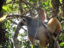 Pares de lémures imagen de archivo