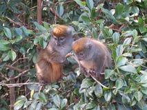 Pares de lémures de bambú imagen de archivo libre de regalías