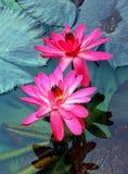 Pares de lírios de água cor-de-rosa híbridos Imagem de Stock