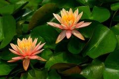 Pares de lírios tropicais asiáticos elegantes na lagoa tropical do jardim foto de stock