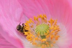 Pares de la abeja sobre las anteras amarillas en Poppy Flower rosada Fotografía de archivo libre de regalías