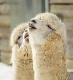 Pares de la alpaca Foto de archivo libre de regalías