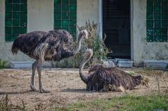 Pares de la avestruz Foto de archivo