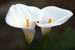 Pares de la flor Fotos de archivo
