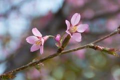 Pares de la flor de Cherry Blossom del japonés y un brote Fotos de archivo libres de regalías