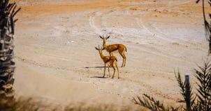 Pares de la gacela árabe joven de la arena que mira fijamente la cámara, Saadiyat imagen de archivo libre de regalías