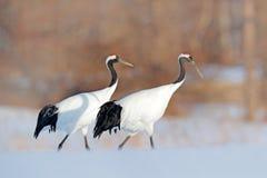 Pares de la grúa, escena del invierno con los copos de nieve Danza de la nieve en naturaleza Escena de la fauna de la naturaleza  fotos de archivo