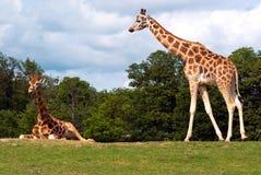Pares de la jirafa Imagenes de archivo