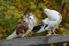 Pares de la paloma Fotos de archivo