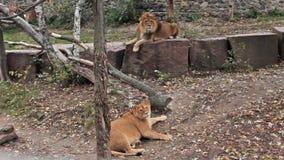 Pares de la reclinación de los leones metrajes