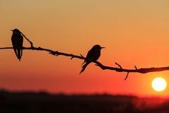 Pares de la silueta de pájaros en la puesta del sol Imagen de archivo libre de regalías