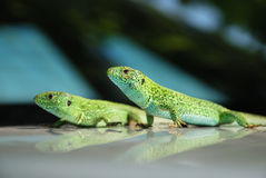 Pares de lagartos de encontro ao fundo borrado Imagens de Stock Royalty Free