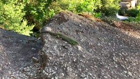 Pares de lagartos verdes en un cierre de piedra para arriba metrajes