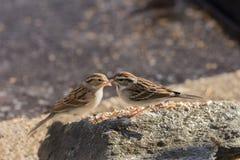 Pares de Lark Sparrows Perched en roca Foto de archivo
