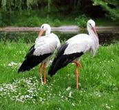 Pares de las cigüeñas blancas Imagen de archivo