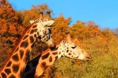Pares de las jirafas Imagen de archivo libre de regalías