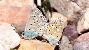 Pares de las mariposas azules comunes copulating en primavera metrajes