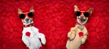 Pares de las tarjetas del día de San Valentín de perros con los pétalos color de rosa imagenes de archivo