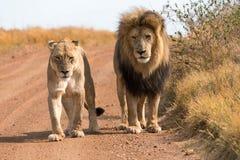 Pares de leões Fotos de Stock Royalty Free