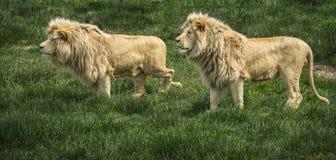 Pares de leões na trilha Fotografia de Stock Royalty Free