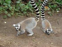 Pares de lemures Foto de Stock