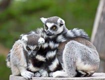 Pares de Lemurs Ring-tailed Snuggling Fotografía de archivo libre de regalías