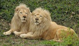 Pares de leones grandes que ponen en la hierba Fotografía de archivo libre de regalías