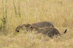 Pares de leopardos en sabana Foto de archivo