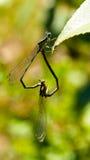 Pares de libélulas Imagen de archivo libre de regalías