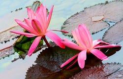 Pares de lirios de agua rosados en la charca tropical fotos de archivo libres de regalías
