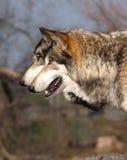 Pares de lobos Imágenes de archivo libres de regalías