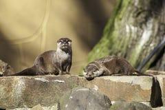 Pares de lontras em uma parede sintética do Weir do riverbank Fotografia de Stock Royalty Free