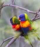 Pares de Lorikeet del arco iris imagen de archivo libre de regalías