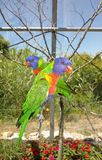 Pares de lorikeets do arco-íris no ramo Foto de Stock