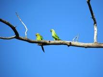 Pares de loros verdes en rama Foto de archivo