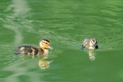 Pares de los anadones jovenes del pato silvestre imagenes de archivo