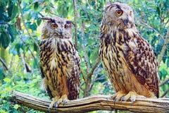 Pares de los búhos Imagen de archivo
