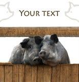 Pares de los cerdos fotografía de archivo libre de regalías