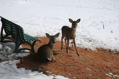 Pares de los ciervos Imagenes de archivo