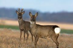 Pares de los ciervos de huevas Fotografía de archivo