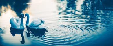 Pares de los cisnes blancos en amor Imágenes de archivo libres de regalías