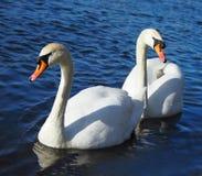 Pares de los cisnes blancos en el agua azul fotos de archivo libres de regalías