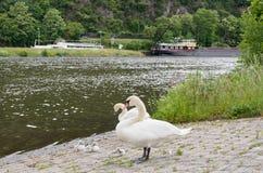 Pares de los cisnes blancos que descansan con los polluelos jovenes en el frente Fotos de archivo libres de regalías