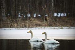 Pares de los cisnes de whooper Fotografía de archivo