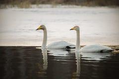 Pares de los cisnes de whooper imagenes de archivo