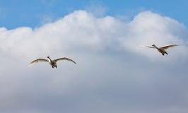Pares de los cisnes del vuelo debajo mientras que nube Foto de archivo libre de regalías