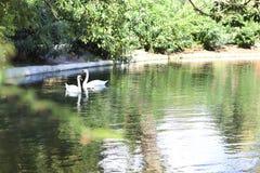 Pares de los cisnes en un lago Imagenes de archivo