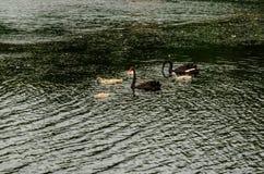 Pares de los cisnes negros con sus polluelos fotografía de archivo