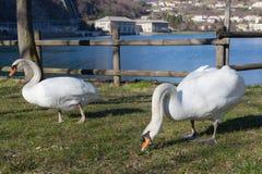 Pares de los cisnes que comen la hierba Imagen de archivo libre de regalías