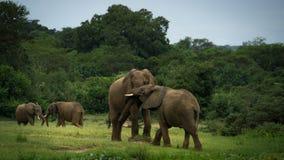 Pares de los elefantes que luchan o que juegan fotografía de archivo